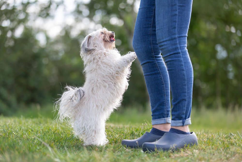 Bolonka Zwetna - Der perfekte Hund für Familien