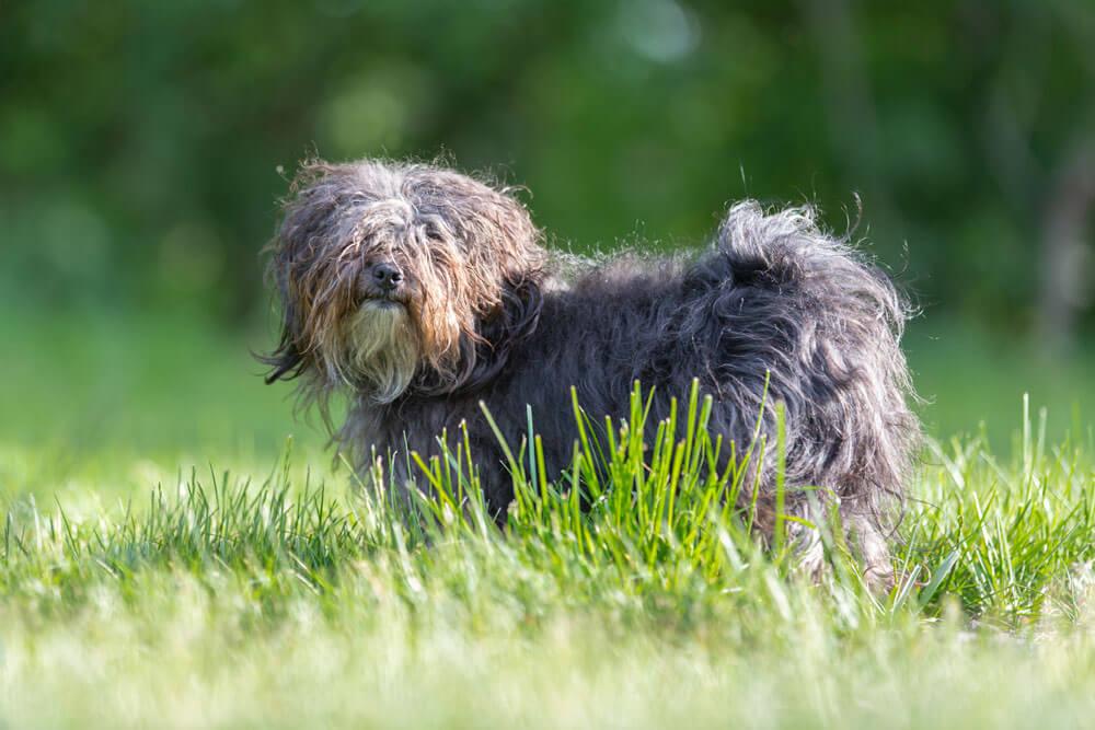 Bolonka Zwetna - Der perfekte Hund für Allergiker